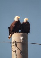 KENNEDY SPACE CENTER, FLA. -- A pair of nesting bald eagles share a utility pole on Kennedy Parkway North. Nearby is their 11-foot-deep nest, in a pine tree, which has been home to one or more pairs of eagles for two dozen years. It is one of a dozen eagle nests in the Merritt Island National Wildlife Refuge, which shares a boundary with Kennedy Space Center. The Southern Bald Eagle ranges throughout Florida and along the coasts of California, Texas, Louisiana, and the south Atlantic states. Bald Eagles are listed as endangered in the U.S., except in five states where they are listed as threatened. The number of nesting pairs of the southern race once numbered several thousand; recent estimates are only 350-375. Most of the southern race nests in Florida Eagles arrive at KSC during late summer and leave for the north in late spring. They move to nest sites in October and November and lay one to three eggs. The young fledge from February to April. The Refuge encompasses 92,000 acres that are a habitat for more than 331 species of birds, 31 mammals, 117 fishes, and 65 amphibians and reptiles. The marshes and open water of the refuge provide wintering areas for 23 species of migratory waterfowl, as well as a year-round home for great blue herons, great egrets, wood storks, cormorants, brown pelicans and other species of marsh and shore birds, as well as a variety of insects