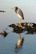 KENNEDY SPACE CENTER, FLA. -- A tri-colored heron stands sentry in the marshes around KSC. It has slate blue feathers on most of its body except for a white chest and belly and a rust-colored neck. It has long yellow legs, a white stripe that runs up its neck and long pointed yellow bill. The bill turns blue during breeding season.The heron is one of 310 species of birds that inhabit the Merritt Island National Wildlife Refuge, which shares a boundary with KSC. The marshes and open water of the refuge also provide wintering areas for 23 species of migratory waterfowl, as well as a year-round home for great egrets, wood storks, cormorants, brown pelicans and other species of marsh and shore birds.