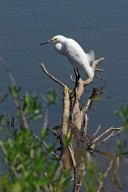 KENNEDY SPACE CENTER, FLA. -- A snowy egret perches on dead limbs in the Indian River near Kennedy Space Center. A type of heron, the snowy egret inhabits salt marshes, ponds, rice fields and shallow coastal bays ranging from Maine to southern South America on the east coast. It can also be found in California and Oklahoma to the Gulf of Mexico. KSC shares a boundary with the Merritt Island Wildlife Nature Refuge. The refuge is a habitat for more than 310 species of birds, 25 mammals, 117 fishes and 65 amphibians and reptiles. In addition, the Refuge supports 19 endangered or threatened wildlife species on Federal or State lists, more than any other single refuge in the U.S. Photo credit: NASA/Dimitri Gerondidakis