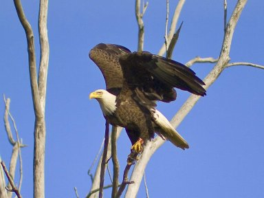A bald eagle sits in a tree at NASA's Plum Brook Station in Sandusky, Ohio.