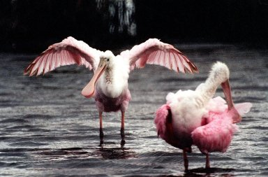 KENNEY SPACE CENTER, FLA. -- A female roseate spoonbill (left) displays her colorful wings to the male at right in a mating ritual in Merritt Island National Wildlife Refuge. The birds, named for their brilliant pink color and paddle-shaped bill, feed in shallow water by swinging their bill back and forth, scooping up small fish and crustaceans. They typically inhabit mangroves on the coasts of southern Florida, Louisiana and Texas. The 92,000-acre refuge, which shares a boundary with Kennedy Space Center, is a habitat for more than 330 species of birds, 31 mammals, 117 fishes and 65 amphibians and reptiles. The marshes and open water of the refuge provide wintering areas for 23 species of migratory waterfowl, as well as a year-round home for great blue herons, great egrets, wood storks, cormorants, brown pelicans and other species of marsh and shore birds