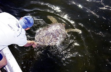 KENNEDY SPACE CENTER, FLA. - A sea turtle is released into the Mosquito Lagoon. It is one of several turtles found stunned, impacted by the unseasonal cold temperatures experienced in Central Florida. The cooperative effort of KSC contractor Dynamac Corporation's Aquatics Program and the Merritt Island National Wildlife Refuge warmed the turtles and evaluated them for release. Most were tagged and the largest one received a transmitter, provided by the University of Central Florida, for satellite tracking. The turtles were then transported through the Haulover Canal to a location away from the main channel for release..