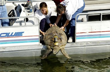 KENNEDY SPACE CENTER, FLA. -- A large sea turtle with a transmitter is released into the Mosquito Lagoon. It is one of several turtles found stunned, impacted by the unseasonal cold temperatures experienced in Central Florida. The cooperative effort of KSC contractor Dynamac Corporation's Aquatics Program and the Merritt Island National Wildlife Refuge warmed the turtles and evaluated them for release. Most were tagged and the largest one received a transmitter, provided by the University of Central Florida, for satellite tracking. The turtles were then transported through the Haulover Canal to a location away from the main channel for release.