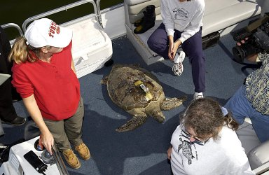 KENNEDY SPACE CENTER, FLA. -- A large sea turtle with a transmitter lies in the skiff that will return it to the Mosquito Lagoon. It is one of several turtles found stunned, impacted by the unseasonal cold temperatures experienced in Central Florida. The cooperative effort of KSC contractor Dynamac Corporation's Aquatics Program and the Merritt Island National Wildlife Refuge warmed the turtles and evaluated them for release. Most were tagged and one received a transmitter, provided by the University of Central Florida, for satellite tracking. The turtles were then transported through the Haulover Canal to a location away from the main channel and released.