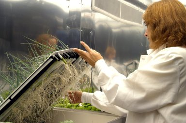 KENNEDY SPACE CENTER, FLA. -- Sharon Edney, with Dynamac Corp., checks the roots of green onions being grown hydroponically for study in the Space Life Sciences Lab. The 100,000 square-foot facility houses labs for NASA?s ongoing research efforts, microbiology/microbial ecology studies and analytical chemistry labs. Also calling the new lab home are facilities for space flight-experiment and flight-hardware development, new plant growth chambers, and an Orbiter Environment Simulator that will be used to conduct ground control experiments in simulated flight conditions for space flight experiments. The SLS Lab, formerly known as the Space Experiment Research and Processing Laboratory or SERPL, provides space for NASA?s Life Sciences Services contractor Dynamac Corporation, Bionetics Corporation, and researchers from the University of Florida. NASA?s Office of Biological and Physical Research will use the facility for processing life sciences experiments that will be conducted on the International Space Station. The SLS Lab is the magnet facility for the International Space Research Park at KSC being developed in partnership with Florida Space Authority.