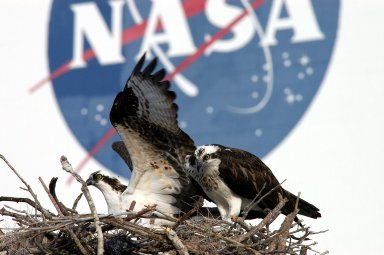KENNEDY SPACE CENTER, FLA. -- A pair of breeding ospreys share a nest constructed on a speaker pole in the lower parking lot of the KSC Press Site. Eggs have been sighted in the nest. The NASA logo in the background is painted on an outer wall of the 525-foot-tall Vehicle Assembly Building nearby. Known as a fish hawk, the osprey selects sites of opportunity in which to nest -- from trees and telephone poles to rocks or even flat ground. In North America, it is found from Alaska and Newfoundland to Florida and the Gulf Coast. Osprey nests are found throughout the Kennedy Space Center and surrounding Merritt Island National Wildlife Refuge.