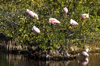 KENNEDY SPACE CENTER, FLA. -- A group of roseate spoonbills share their watery hunting ground with a lone white ibis near KSC. Spoonbills prefer to inhabit mangroves, ranging from the coasts of southern Florida, Louisiana and Texas, to the West Indies, Mexico, Central and South America. They feed on shrimps and fish in shallow waters. Spoonbills are one of 310 species of birds that inhabit the Merritt Island National Wildlife Refuge, which shares a boundary with KSC. The marshes and open water of the refuge also provide wintering areas for 23 species of migratory waterfowl, as well as a year-round home for great blue herons, great egrets, wood storks, cormorants, brown pelicans and other species of marsh and shore birds.