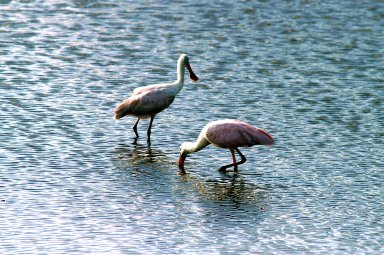 KENNEDY SPACE CENTER, FLA. -- Two roseate spoonbills hunt for their supper in the water near KSC. Spoonbills prefer to inhabit mangroves, ranging from the coasts of southern Florida, Louisiana and Texas, to the West Indies, Mexico, Central and South America. They feed on shrimps and fish in shallow waters. Spoonbills are one of 310 species of birds that inhabit the National Merritt Island Wildlife Refuge, which shares a boundary with KSC. The marshes and open water of the refuge also provide wintering areas for 23 species of migratory waterfowl, as well as a year-round home for great blue herons, great egrets, wood storks, cormorants, brown pelicans and other species of marsh and shore birds.