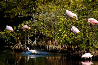KENNEDY SPACE CENTER, FLA. -- A lone white ibis shares its watery hunting ground with a group of roseate spoonbills near KSC. Spoonbills prefer to inhabit mangroves, ranging from the coasts of southern Florida, Louisiana and Texas, to the West Indies, Mexico, Central and South America. They feed on shrimps and fish in shallow waters. Spoonbills are one of 310 species of birds that inhabit the Merritt Island National Wildlife Refuge, which shares a boundary with KSC. The marshes and open water of the refuge also provide wintering areas for 23 species of migratory waterfowl, as well as a year-round home for great blue herons, great egrets, wood storks, cormorants, brown pelicans and other species of marsh and shore birds.