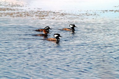 KENNEDY SPACE CENTER, FLA. -- Three male and one female hooded mergansers swim in the quicksilver water of the Merritt Island National Wildlife Refuge, which shares a boundary with Kennedy Space Center. Usually found from Alaska and Canada south to Nebraska, Oregon and Tennessee, hooded mergansers winter south to Mexico and the Gulf Coast, including KSC. The open water of the refuge provides wintering areas for 23 species of migratory waterfowl, as well as a year-round home for great blue herons, great egrets, wood storks, cormorants, brown pelicans and other species of marsh and shore birds. The 92,000-acre refuge is also habitat for more than 310 species of birds, 25 mammals, 117 fishes and 65 amphibians and reptiles.