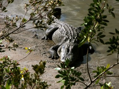 KENNEDY SPACE CENTER, FLA. -- An alligator is spotted sunning on the muddy bank of a canal in KSC. Nearly 5,000 alligators can be found in canals, ponds, and waterways throughout the Center and the surrounding Merritt Island National Wildlife Refuge. American alligators feed and rest in the water, and lay their eggs in dens they dig into the banks. The young alligators spend their first several weeks in these dens. The Wildlife Refuge encompasses 92,000 acres that are a habitat for more than 331 species of birds, 31 mammals, 117 fishes, and 65 amphibians and reptiles.
