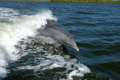 KENNEDY SPACE CENTER, FLA. - A dolphin surfs the wake of a research boat on the Banana River.
