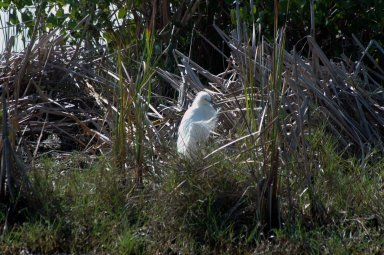 KENNEDY SPACE CENTER, FLA. -- A snowy egret is spotted in the midst of reeds near a pond on NASA's Kennedy Space Center. A type of heron, the snowy egret inhabits salt marshes, ponds, rice fields and shallow coastal bays ranging from Maine to southern South America on the east coast. It can also be found in California and Oklahoma to the Gulf of Mexico. KSC shares a boundary with the Merritt Island Wildlife Nature Refuge. The refuge is a habitat for more than 310 species of birds, 25 mammals, 117 fishes and 65 amphibians and reptiles. In addition, the Refuge supports 19 endangered or threatened wildlife species on Federal or State lists, more than any other single refuge in the U.S. Photo credit: NASA/Ken Thornsley