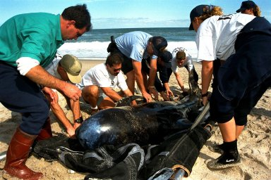 KENNEDY SPACE CENTER, FLA. -- Sea World, Dynamac Life Sciences, and EG&G Protective Services staff tend to a beached whale on the Brevard County shoreline near Kennedy Space Center's Launch Pad 39A. Two pilot whales beached themselves mid-morning on Jan. 20 and were rescued and taken to Marineland near St. Augustine. The two whales, an eight-foot and an 11-foot, bring to six the number of whales being treated at Sea World in Orlando and at Marineland. Nine whales have beached in Brevard County since the beginning of the year