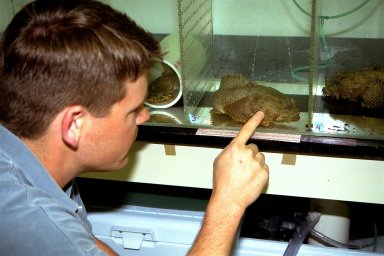 KENNEDY SPACE CENTER, FLA. -- Bill Kroeger, an aquatic technician for the Bionetics Corporation, examines an oyster toadfish (Opsanus tau), like those that are part of the Neurolab payload on Space Shuttle Mission STS-90, in its holding tank in the Space Station Processing Facility. Each fish is between eight and 14 inches long. Toadfish live in an estuarine environment and are native to areas along the Northeast coast of the United States. Investigations during the Neurolab mission will focus on the effects of microgravity on the nervous system. This fish is an excellent model for looking at vestibular function because the architecture of its inner and middle ear are similar to those of mammals with respect to the vestibular apparatus. The crew of STS-90, slated for launch April 16 at 2:19 p.m. EDT, includes Commander Richard Searfoss, Pilot Scott Altman, Mission Specialists Richard Linnehan, Dafydd (Dave) Williams, M.D., and Kathryn (Kay) Hire, and Payload Specialists Jay Buckey, M.D., and James Pawelczyk, Ph.D