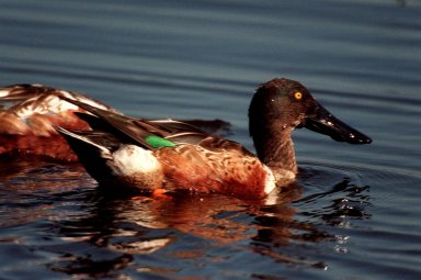 KENNEDY SPACE CENTER, FLA. -- The broad, distinctive bill is a primary feature of this northern shoveler, paddling in the waters of the Merritt Island National Wildlife Refuge at Kennedy Space Center. Typically found in western Canada, Alaska, Colorado and Southern California, it can also be found farther east and south, wintering in the United States along the southeast coast. The marshes and open water of the refuge provide wintering areas for 23 species of migratory waterfowl, as well as a year-round home for great blue herons, great egrets, wood storks, cormorants, brown pelicans and other species of marsh and shore birds. The 92,000-acre refuge is also habitat for more than 310 species of birds, 25 mammals, 117 fishes and 65 amphibians and reptiles