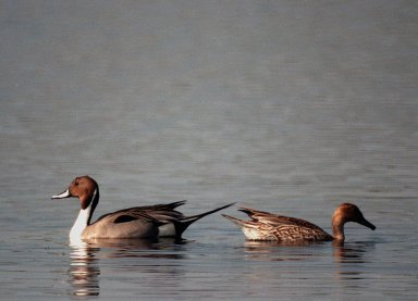 KENNEDY SPACE CENTER, FLA. -- A male pintail duck (left) and female pintail (right) look like bookends on a glass-topped table in the winter waters of the Merritt Island National Wildlife Refuge at Kennedy Space Center. The pintails can be found in the marshes, prairie ponds and tundra of Alaska, Greenland and north and western United States; in the winter they range south and east to Central America and the West Indies, sometimes in salt marshes such as the refuge offers. The open water of the refuge provides wintering areas for 23 species of migratory waterfowl, as well as a year-round home for great blue herons, great egrets, wood storks, cormorants, brown pelicans and other species of marsh and shore birds. The 92,000-acre refuge is also habitat for more than 310 species of birds, 25 mammals, 117 fishes and 65 amphibians and reptiles