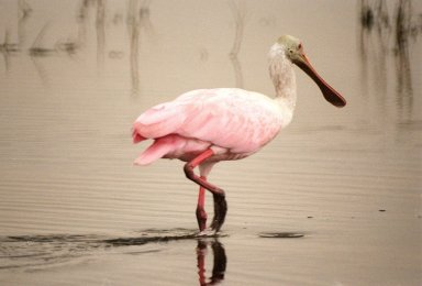 KENNEDY SPACE CENTER, FLA. -- This roseate spoonbill seems to pause midstride as it searches for food in a canal in the Merritt Island National Wildlife Refuge. The birds, named for their brilliant pink color and paddle-shaped bill, feed in shallow water by swinging their bill back and forth, scooping up small fish and crustaceans. They typically inhabit mangroves on the coasts of southern Florida, Louisiana and Texas