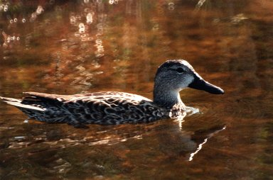 KENNEDY SPACE CENTER, FLA. -- A pintail duck swims calmly in the waters of the Merritt Island National Wildlife [ http://www-pao.ksc.nasa.gov/kscpao/captions/subjects/wildlife.htm ]Refuge, which shares a boundary with the space center. The pintail can be found in marshes, prairie ponds and tundra, and salt marshes in winter. They range from Alaska and Greenland south to Central America and the West Indies. The open waters of the Wildlife Refuge provide wintering areas for 23 species of migratory waterfowl as well as a year-round home for great blue herons, great egrets, wood storks, cormorants, brown pelicans and other species of marsh and shore birds. The refuge comprises 92,000 acres, ranging from fresh-water impoundments, salt-water estuaries and brackish marshes to hardwood hammocks and pine flatwoods. The diverse landscape provides habitat for more than 310 species of birds, 25 mammals, 117 fishes, and 65 amphibians and reptiles, including such endangered species as Southern bald eagles, wood storks, Florida scrub jays, Atlantic loggerhead and leatherback turtles, osprey, and nearly 5,000 alligators