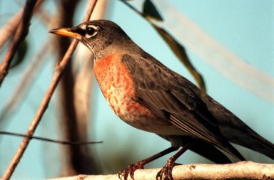 KENNEDY SPACE CENTER, FLA. -- A robin perches on a branch in the Merritt Island National Wildlife [ http://www-pao.ksc.nasa.gov/kscpao/captions/subjects/wildlife.htm ]Refuge, which shares a boundary with the space center. Robins range throughout North America, from Alaska to Florida. Although considered a harbinger of spring, they do winter in northern states, frequenting cedar bogs and swamps. They also winter in Florida, where they often can be seen in flocks of hundreds near KSC and the wildlife refuge, which comprises 92,000 acres, ranging from hardwood hammocks and pine flatwoods to fresh-water impoundments, salt-water estuaries and brackish marshes. The diverse landscape provides habitat for more than 310 species of birds, 25 mammals, 117 fishes, and 65 amphibians and reptiles, including such endangered species as Southern bald eagles, wood storks, Florida scrub jays, Atlantic loggerhead and leatherback turtles, osprey, and nearly 5,000 alligators
