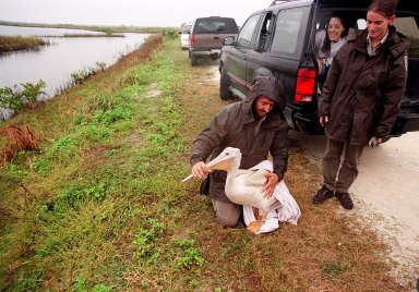 """Under a rain-filled sky, Mark Epstein, with the U.S. Fish and Wildlife Service, gets ready to release a rescued white pelican. At right is Kat Royer, also with the U.S. Fish and Wildlife Service, who has fixed on it a leg band issued by the U.S. Department of the Interior's Bird Banding Laboratory. In the background is Christine Wise who is involved with rescue and rehabilitation of Florida wild animals. Wise brought the pelican to the Merritt Island National Wildlife Refuge for its release. The bird was found covered in crude oil from a contaminated ditch in northern Indiana in November, and was rescued by a local Police Department, treated, and flown to the Back to Nature Wildlife Refuge in Orlando, Fla. for care and rest. The pelican, dubbed """"Fisheater"""" by its rescuers, is being let go to join a flock of about 30 other white pelicans that are wintering on the refuge. White pelicans inhabit marshy lakes and along the Pacific and Texas coasts. They winter from Florida and southern California south to Panama, chiefly in coastal lagoons. They are frequently seen flying in long lines, flapping and sailing in unison, but also ride rising air currents to soar gracefully in circles. The Merritt Island National Wildlife Refuge, which encompasses 92,000 acres that are a habitat for more than 331 species of birds, 31 mammals, 117 fishes, and 65 amphibians and reptiles. The marshes and open water of the refuge provide wintering areas for 23 species of migratory waterfowl, as well as a year-round home for great blue herons, great egrets, wood storks, cormorants, brown pelicans and other species of marsh and shore birds, as well as a variety of insects"""