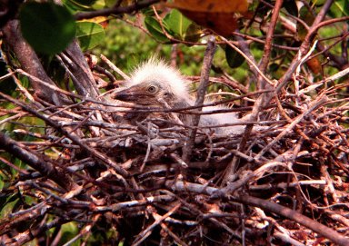KENNEDY SPACE CENTER, FLA. -- Its newly grown, wispy feathers reflecting light like a halo, an unidentified baby bird waits, probably for its next meal, in its stick-assembled nest. The nest is in the Merritt Island National Wildlife Refuge, which shares a boundary with KSC. Hardwood hammocks and pine flatwoods share the 92,000-acre refuge with fresh-water impoundments, salt-water estuaries and brackish marshes. The diverse landscape provides habitat for more than 310 species of birds, 25 mammals, 117 fishes, and 65 amphibians and reptiles, including such endangered species as Southern bald eagles, wood storks, Florida scrub jays, Atlantic loggerhead and leatherback turtles, osprey, and nearly 5,000 alligators