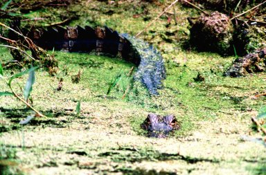 KENNEDY SPACE CENTER, FLA. -- An alligator lurks in the murky, mossy waters of the Merritt Island National Wildlife Refuge at Kennedy Space Center. Its tail surfaces behind him, looking like a log in the water. The wildlife refuge harbors nearly 5,000 American alligators, some of which can be seen in the canals and ponds around KSC. The refuge is also habitat for more than 310 species of birds, 25 mammals, 117 fishes and 65 amphibians and reptiles. The open water provides wintering areas for 23 species of migratory waterfowl and a year-round home for great blue herons, great egrets, wood storks, cormorants, brown pelicans and other species of marsh and shore birds