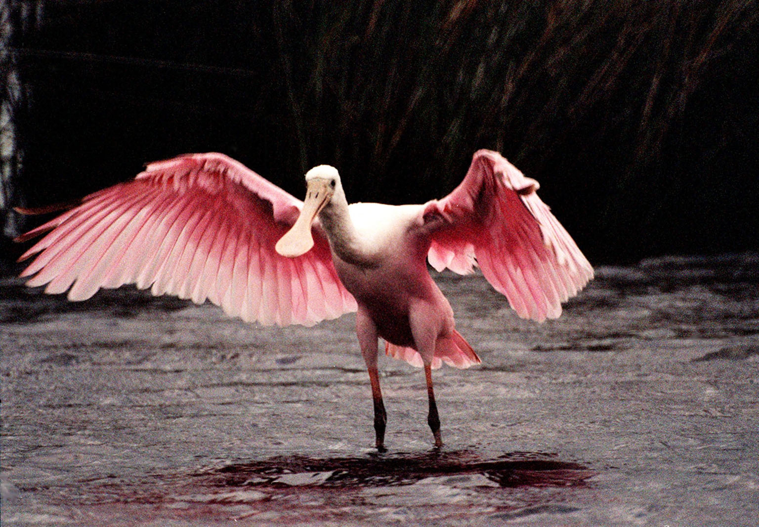 KENNEDY SPACE CENTER, FLA. -- A female roseate spoonbill displays her colorful wings in a mating ritual in Merritt Island National Wildlife Refuge. The birds, named for their brilliant pink color and paddle-shaped bill, feed in shallow water by swinging their bill back and forth, scooping up small fish and crustaceans. They typically inhabit mangroves on the coasts of southern Florida, Louisiana and Texas. The 92,000-acre refuge, which shares a boundary with Kennedy Space Center, is a habitat for more than 330 species of birds, 31 mammals, 117 fishes and 65 amphibians and reptiles. The marshes and open water of the refuge provide wintering areas for 23 species of migratory waterfowl, as well as a year-round home for great blue herons, great egrets, wood storks, cormorants, brown pelicans and other species of marsh and shore birds