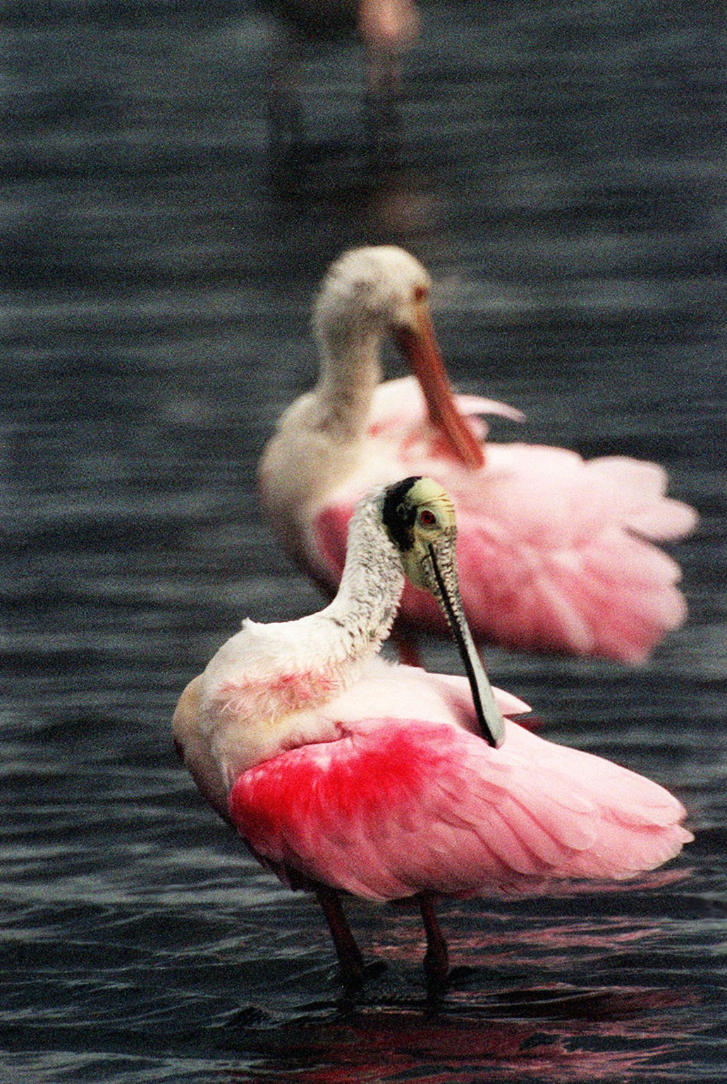 KENNEDY SPACE CENTER, FLA. -- In the Merritt Island National Wildlife Refuge, two roseate spoonbills mirror each other as they preen their lipstick-colored feathers. The birds, named for their brilliant pink color and paddle-shaped bill, feed in shallow water by swinging their bill back and forth, scooping up small fish and crustaceans. They typically inhabit mangroves on the coasts of southern Florida, Louisiana and Texas. The 92,000-acre refuge, which shares a boundary with Kennedy Space Center, is a habitat for more than 330 species of birds, 31 mammals, 117 fishes and 65 amphibians and reptiles. The marshes and open water of the refuge provide wintering areas for 23 species of migratory waterfowl, as well as a year-round home for great blue herons, great egrets, wood storks, cormorants, brown pelicans and other species of marsh and shore birds