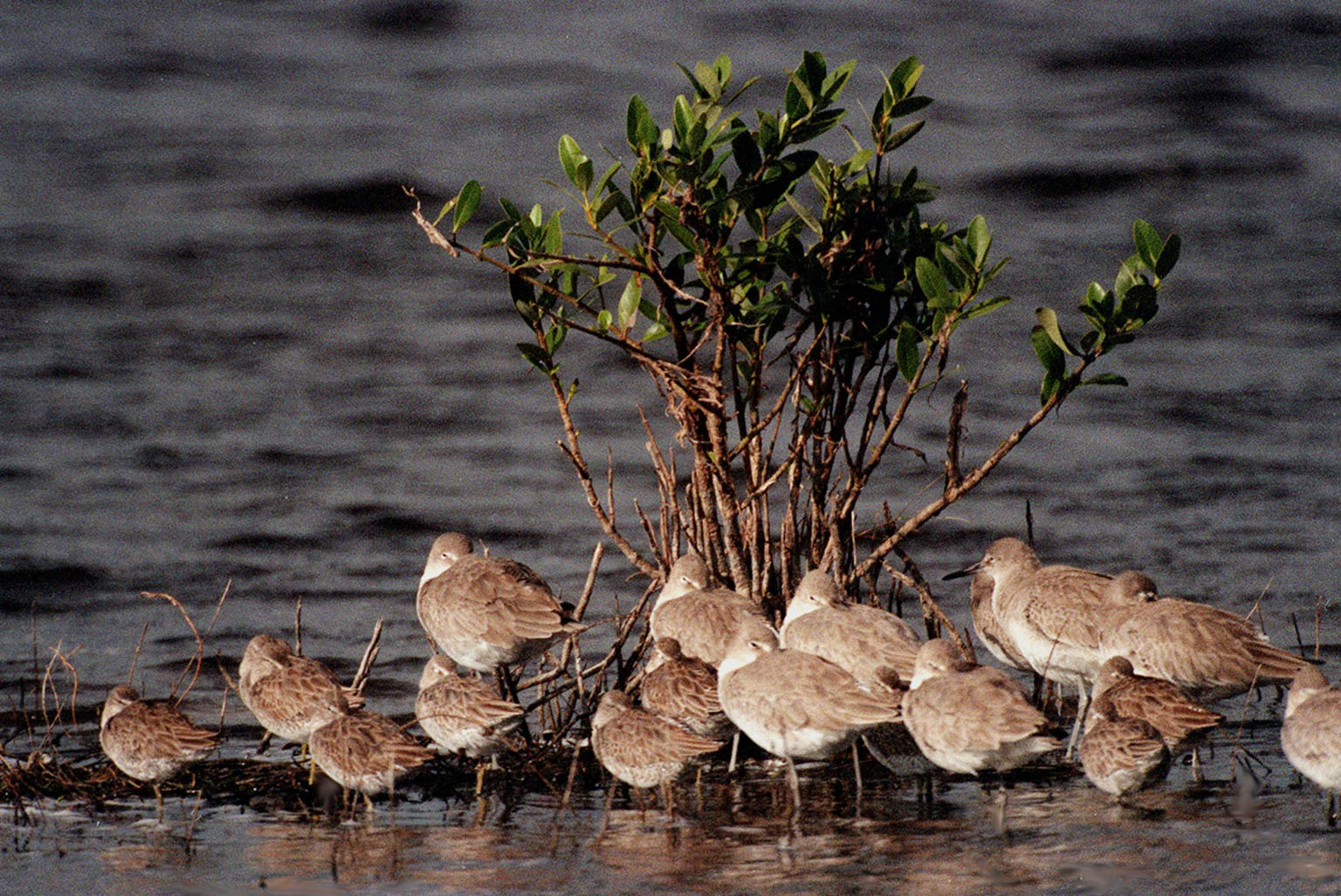 KENNEDY SPACE CENTER, FLA. -- Willets gather around a plant in the shallow waters of the Merritt Island National Wildlife Refuge, which shares a boundary with Kennedy Space Center. Willets are best identified in flight by their black-and-white wing pattern; on the ground by their thick black bills and gray legs. They breed in southern Canada, the United States and the West Indies, wintering from the southern U.S. to central South America. The 92,000-acre refuge is a habitat for more than 330 species of birds, 31 mammals, 117 fishes and 65 amphibians and reptiles. The marshes and open water of the refuge provide wintering areas for 23 species of migratory waterfowl, as well as a year-round home for great blue herons, great egrets, wood storks, cormorants, brown pelicans and other species of marsh and shore birds
