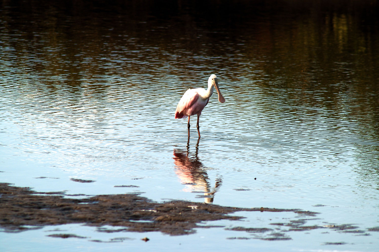 KENNEDY SPACE CENTER, FLA. -- A roseate spoonbill contemplates its reflection in the water near KSC. Spoonbills prefer to inhabit mangroves, ranging from the coasts of southern Florida, Louisiana and Texas, to the West Indies, Mexico, Central and South America. They feed on shrimps and fish in shallow waters. Spoonbills are one of 310 species of birds that inhabit the Merritt Island National Wildlife Refuge, which shares a boundary with KSC. The marshes and open water of the refuge also provide wintering areas for 23 species of migratory waterfowl, as well as a year-round home for great blue herons, great egrets, wood storks, cormorants, brown pelicans and other species of marsh and shore birds.
