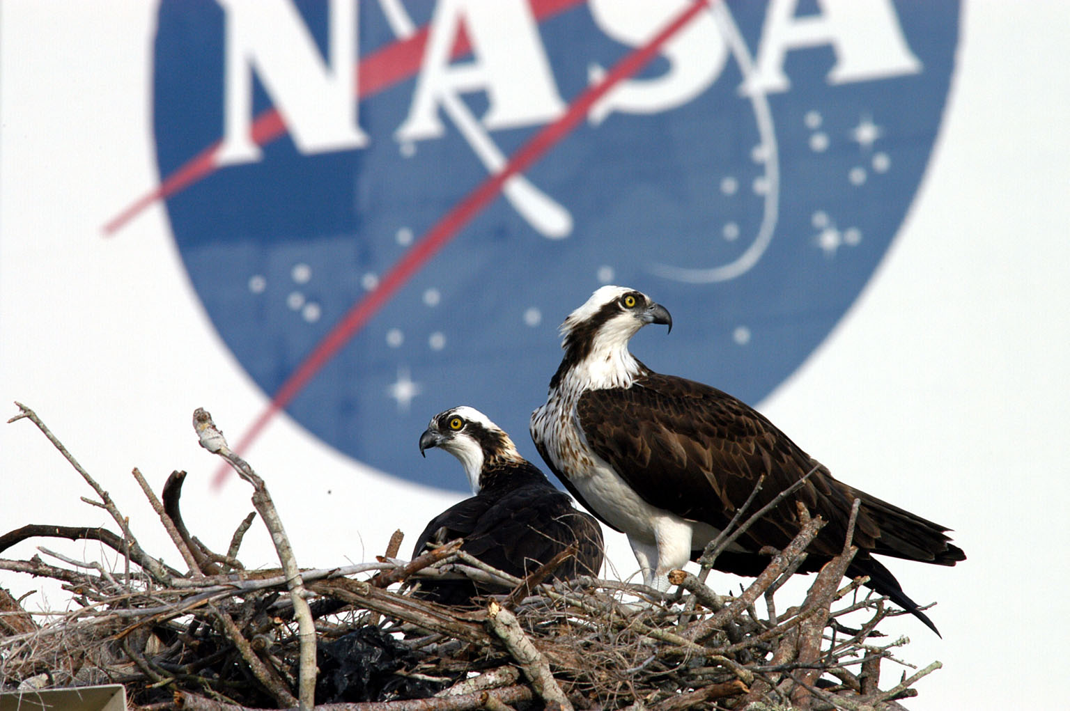 KENNEDY SPACE CENTER, FLA. -- A pair of breeding ospreys have taken up residence in a nest constructed on a speaker pole in the lower parking lot of the KSC Press Site. Eggs have been sighted in the nest. The NASA logo in the background is painted on an outer wall of the 525-foot-tall Vehicle Assembly Building nearby. Known as a fish hawk, the osprey selects sites of opportunity in which to nest -- from trees and telephone poles to rocks or even flat ground. In North America, it is found from Alaska and Newfoundland to Florida and the Gulf Coast. Osprey nests are found throughout the Kennedy Space Center and surrounding Merritt Island National Wildlife Refuge.