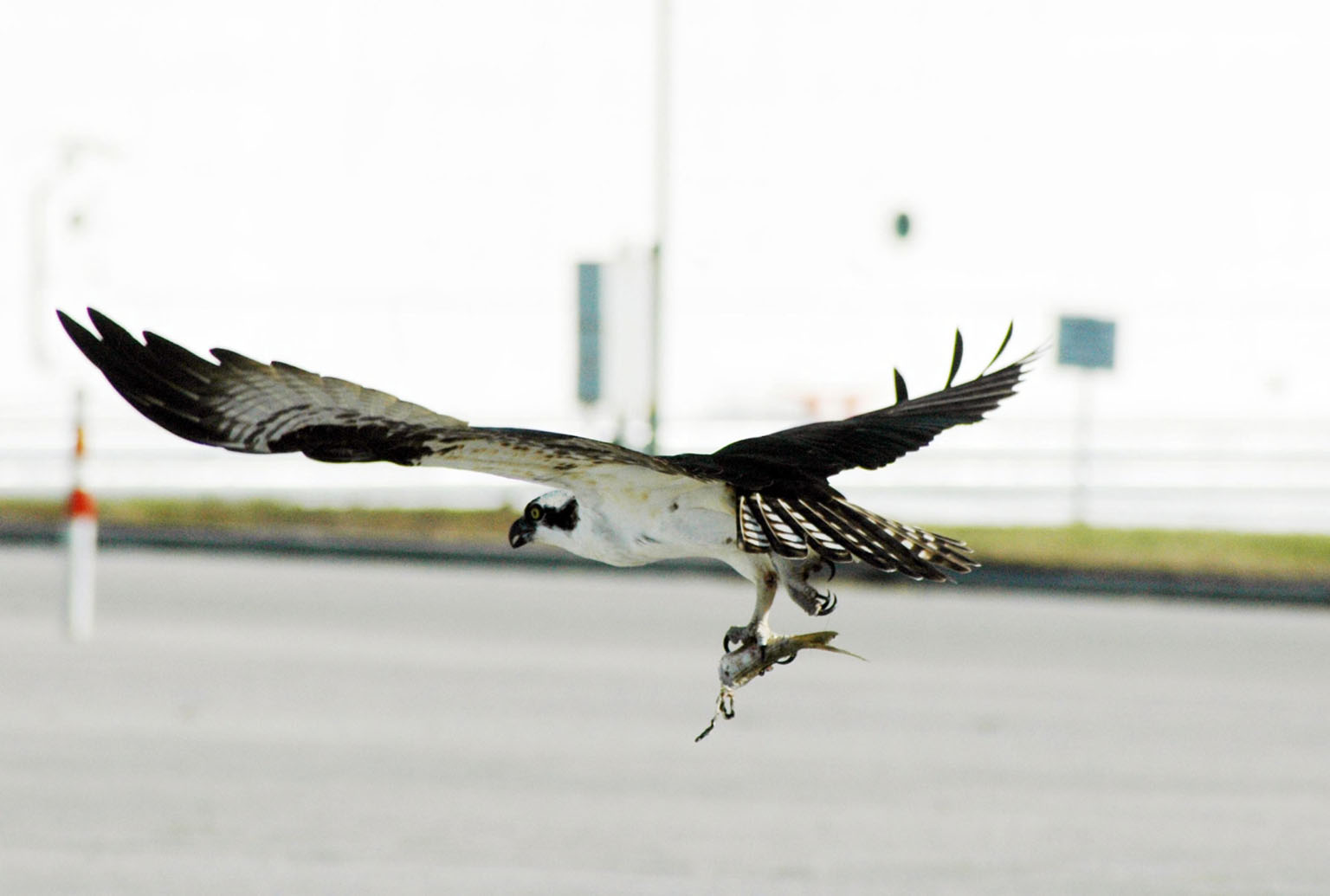 KENNEDY SPACE CENTER, FLA. -- Near the Kennedy Space Center News Center, in the Launch Complex 39 area, a male Osprey takes flight with part of a fish clutched in its talons. The bird is one of more than 500 species of birds that co-exist at the Center and the Merritt Island National Wildlife Refuge. Photo credit: NASA/Ken Thornsley