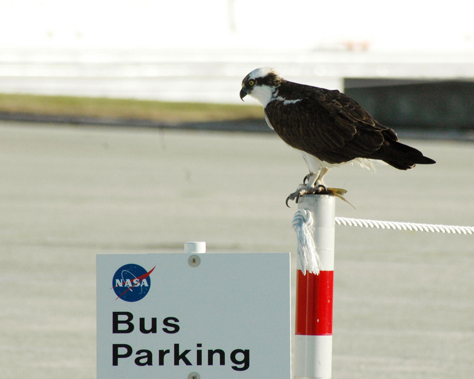 KENNEDY SPACE CENTER, FLA. -- A male Osprey perches atop a stanchion near the Kennedy Space Center News Center, in the Launch Complex 39 area. The bird is one of more than 500 species of birds that co-exist at the Center and the Merritt Island National Wildlife Refuge. Photo credit: NASA/Ken Thornsley