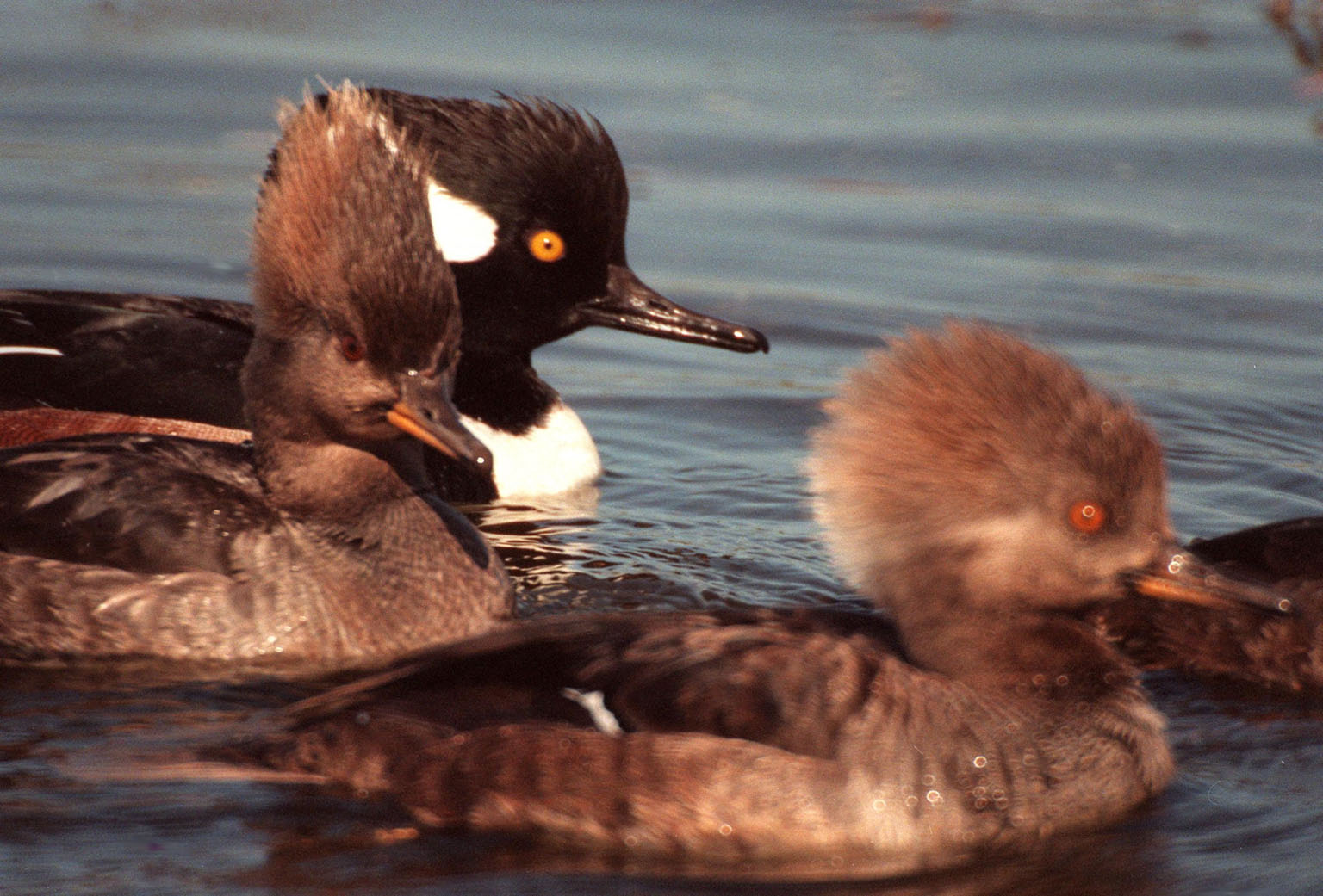 KENNEDY SPACE CENTER, FLA. -- A male and two female hooded mergansers swim in the waters of the Merritt Island National Wildlife Refuge at Kennedy Space Center. The male displays its distinctive fan-shaped, black-bordered crest. Usually found from Alaska and Canada south to Nebraska, Oregon and Tennessee, hooded mergansers winter south to Mexico and the Gulf Coast, including KSC. The open water of the refuge provides wintering areas for 23 species of migratory waterfowl, as well as a year-round home for great blue herons, great egrets, wood storks, cormorants, brown pelicans and other species of marsh and shore birds. The 92,000-acre refuge is also habitat for more than 310 species of birds, 25 mammals, 117 fishes and 65 amphibians and reptiles