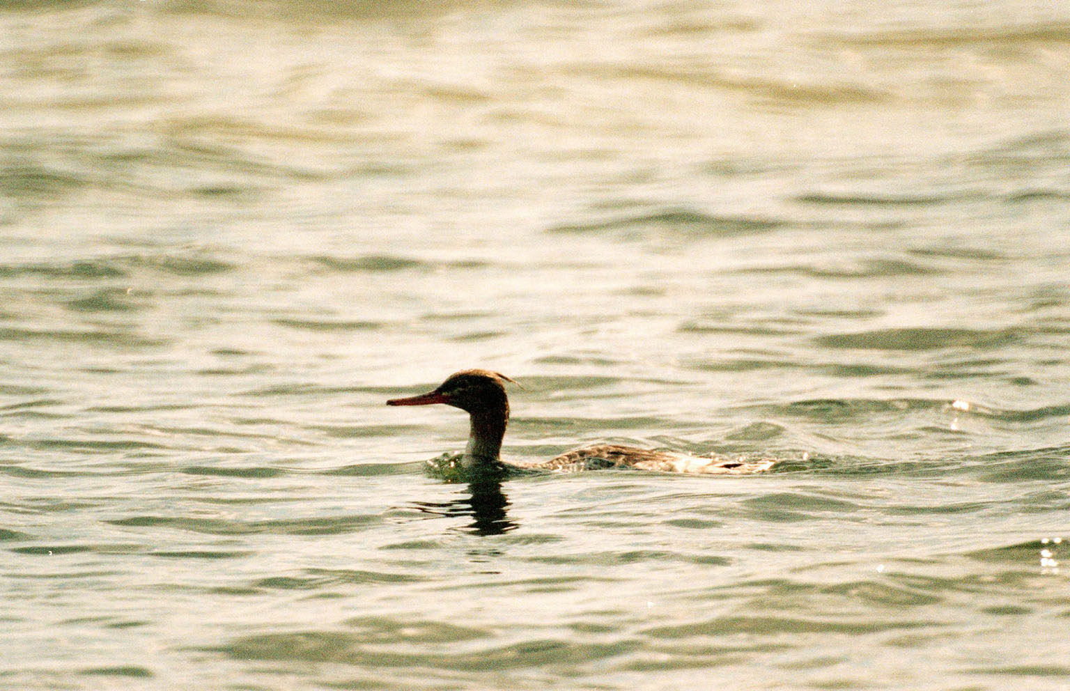 KENNEDY SPACE CENTER, FLA. -- A female red-breasted merganser swims low in the water at the Merritt Island National Wildlife Refuge, which shares a boundary with Kennedy Space Center. Usually found from Alaska and Canada south to Nebraska, Oregon and Tennessee, hooded mergansers winter south to Mexico and the Gulf Coast, including KSC. The open water of the refuge provides wintering areas for 23 species of migratory waterfowl, as well as a year-round home for great blue herons, great egrets, wood storks, cormorants, brown pelicans and other species of marsh and shore birds. The 92,000-acre refuge is also habitat for more than 310 species of birds, 25 mammals, 117 fishes and 65 amphibians and reptiles
